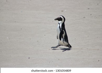 african pinguin walking on boulders beach, simons town