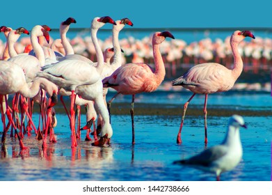 african pink flamingos walking on the blue salt lake of Namibia