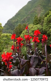 African or purple arrowroot, Canna indica flowering on an open space between dense forested hills