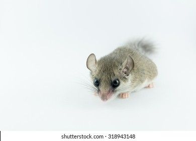 African Pygmy Dormouse look angry on white background