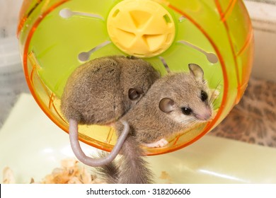 African Pygmy Dormouse which there is no hair on tail hide its face on other on running wheel