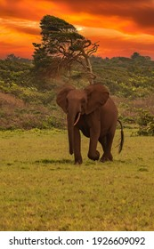African pygmy elephant or forest elephant (Loxodonta cyclotis) as seen in Gabon Loango national park