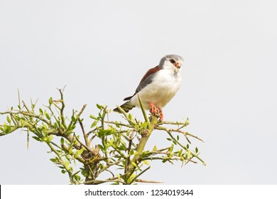 African Pygmy Falcon bird of prey on thorny branch at Serengeti National Park in Tanzania, East Africa (Polihierax semitorquatus)