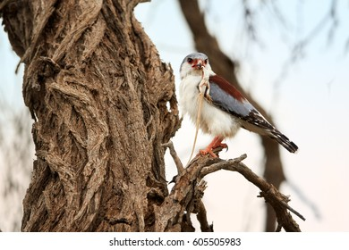 African pygmy falcon, Polihierax semitorquatus, smallest raptor in Africa, perched on branch with prey. Pygmy falcon, female feeding on agama. Wildlife photo, Kalahari desert, Botswana.