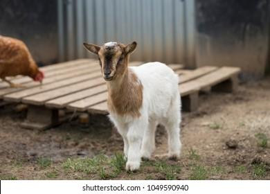 Pygmy Goat Images, Stock Photos & Vectors | Shutterstock