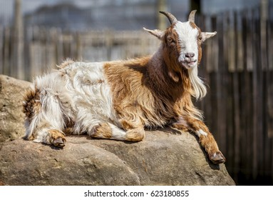 African pygmy goat relaxed lying down on a rock. Close up portrait of miniature domestic goat looking toward the camera.