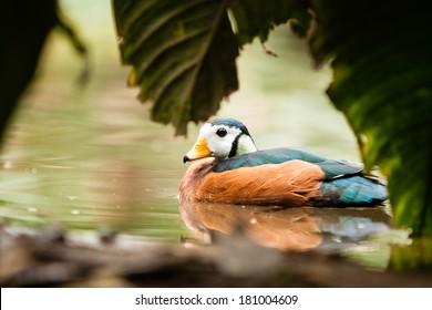 African Pygmy Goose (Nettapus auritus) on water