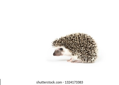 African Pygmy Hedgehog with brown and white quills and a white face on a white background.