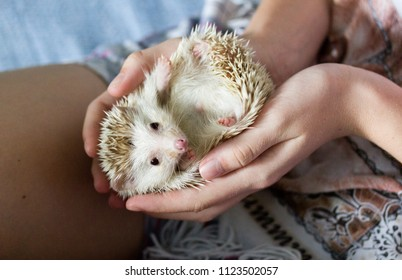 African pygmy hedgehog lying on his back in the hands of a girl