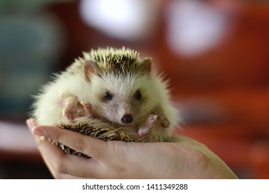 An african pygmy hedgehog on owner hand.