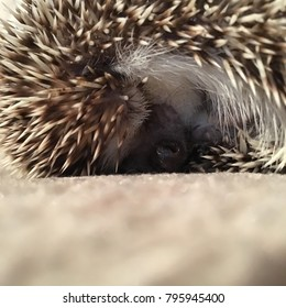 African Pygmy Hedgehog sleeping, resting asleep rolled into a ball with it's quills up.