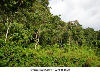 African rainforest in the Bwindi Impenetrable Forest National Park, at the borders of Uganda, Congo and Rwanda. The Bwindi National Park is the home of the mountain gorillas.