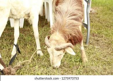 African ram commonly called 'agbo', usually slaughtered during muslim's Eid el kabir for its fresh and delicious meat feeding on green grass.