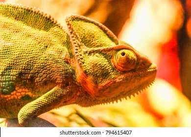 African Reptile Chameleon Furcifer pardalis Ambolobe, Madagascar endemic Panther chameleon in angry state, pure Ambilobe