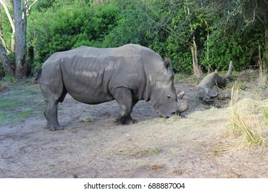 african rhino are eating grass