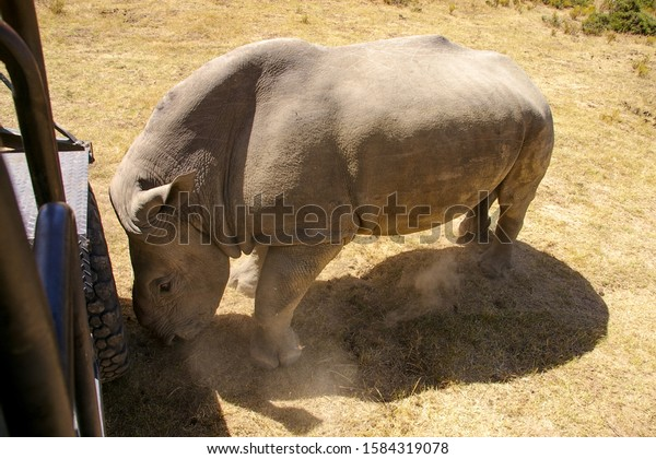 African rhinoceros with missing horn attacking a safari truck