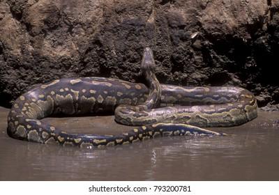African Rock python, Python sebae, Masai Mara National Park, Kenya.