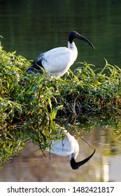 The African Sacred Ibis has been revered by many ancient cultures as a sacred animal. Very common in most of African this wading bird is often found around lakes and rivers where they feed and nest.