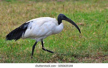 The African sacred ibis (Threskiornis aethiopicus) in Kenya