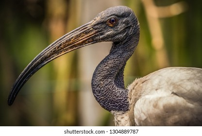 The African sacred ibis (Threskiornis aethiopicus) is a species of ibis, a wading bird of the family Threskiornithidae. It is native to Africa and the Middle East.