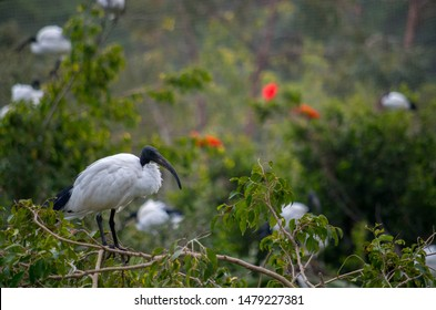 The African sacred ibis (Threskiornis aethiopicus) is a species of ibis, a wading bird of the family Threskiornithidae.