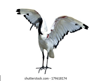 African sacred ibis (Threskiornis aethiopicus) opening its wings and ready to fly
