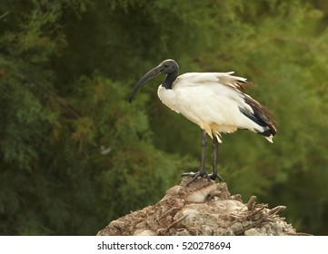 African sacred ibis, Threskiornis aethiopicus, black and white wading bird  perched on top of the trunk in small lagoon. Camargue, France