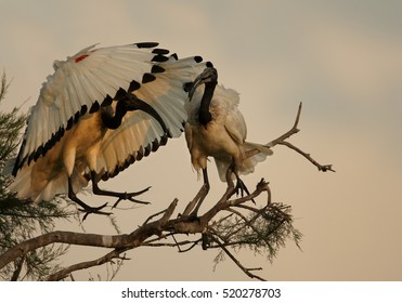 African sacred ibis, Threskiornis aethiopicus, black and white wading bird. Pair, two birds greets each other on branch. Roosting ibis in evening light. Camargue, France.