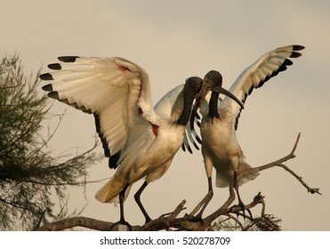 African sacred ibis, Threskiornis aethiopicus, black and white wading bird. Pair, two birds greets each other on branch. Roosting ibises with outstretched wings in evening light. Camargue, France.