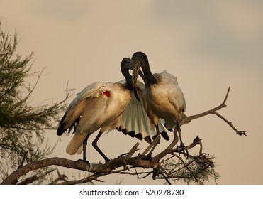 African sacred ibis, Threskiornis aethiopicus, black and white wading bird. Pair, two birds greets each other on branch. Roosting ibises in evening light. Camargue, France.