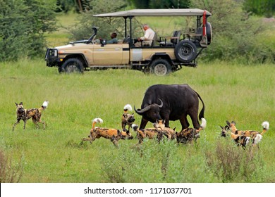 African safari, car with nature lovers. Wild Dog Hunting in Botswana, buffalo cow and calf with predator. Wildlife scene from Africa, Moremi, Okavango delta. Animal behaviour, pack pride of dog.