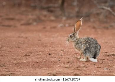 African Savanna Hare (Lepus microtis) - Don't Move