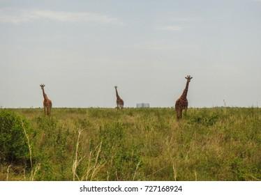 African savanna landscape. Nairobi National Park. Kenya. Eastern Africa