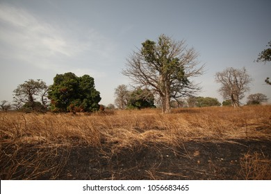 african savannah landscape with baobab and other trees on dried grass in the Gambia in natural sunlight