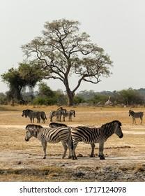 African scene with Zebra's bum to bum