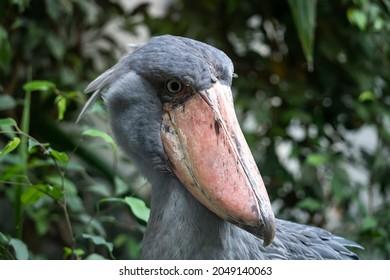 African Shoebill - Balaeniceps rex - close up photo on the birds head - Shutterstock ID 2049140063