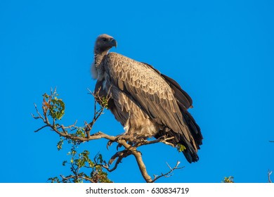 African sip. Griffin Ruppel. Africa. Bird of prey vultures.
