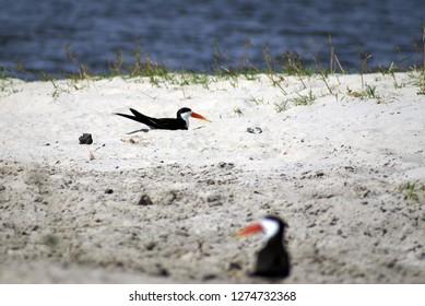 African skimmer (Rynchops flavirostris) on a sandbar in Chobe National Park, Botswana