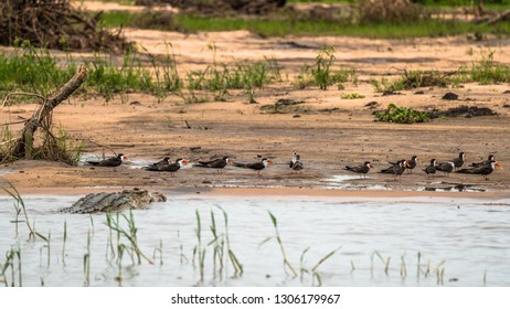 African skimmers on a Shire river bank, unaware of the lurking crocodile