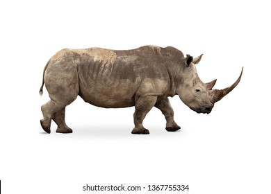African Southern White Rhino with large pointy horn. Side profile isolated on white background