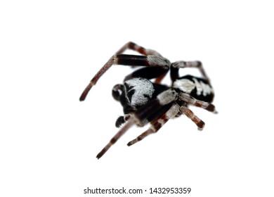 African spider Stegodyphus bicolor isolated on white