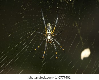 African spider in web