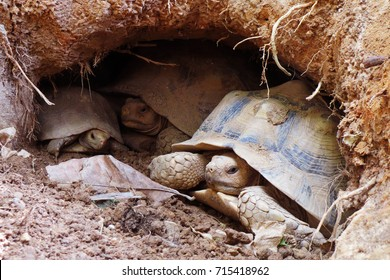 African spurred tortoise at burrow entrance ,Big Geochelone sulcata in hollow ,The African spurred tortoise is the largest tortoise of the African mainland ,Close up tortoise sleeping or in cavity