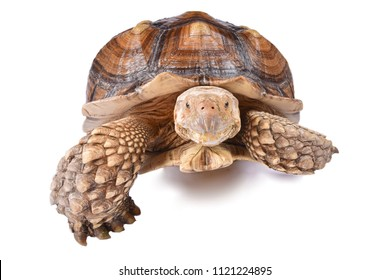 The African spurred tortoise (Centrochelys sulcata) is the third-largest species of tortoise in the world and the largest species of mainland tortoise.