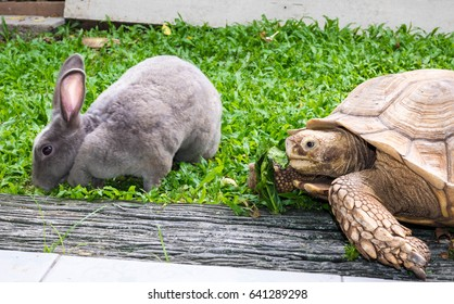 African spurred tortoise (Centrochelys sulcata), and rabbit
