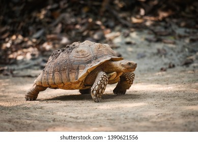 African spurred tortoise / Close up turtle walking - selective focus