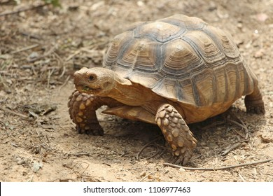 African Spurred Tortoise in the garden, ,Geochelone sulcata,tortoise sunbathe on ground with his protective shell ,Beautiful Tortoise