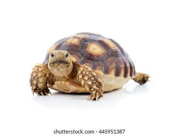 African spurred tortoise isolated on white background