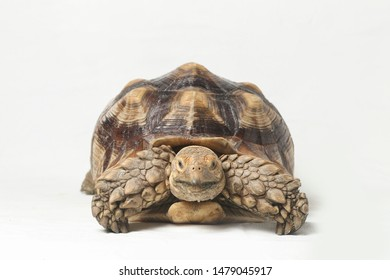 African Spurred Tortoise also know as African Spur Thigh Tortoise - Geochelone sulcata isolated on white background