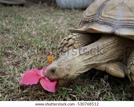 African Spurred Tortoise Sulcata Kind Turtle Stock Photo Edit Now